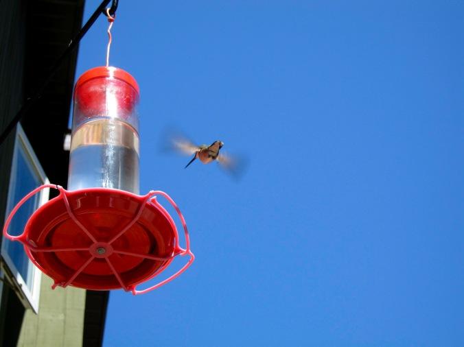 Hummingbird at feeder - Nova Scotia, Canada