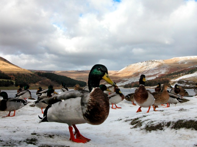 Ducks, snow and hills