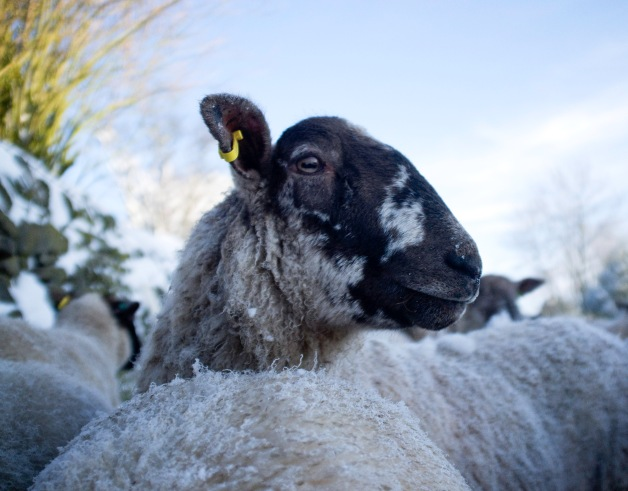 Sheep portrait 1