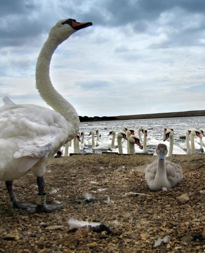 swan and cyg